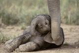 Elephant Baby Lying on Ground Papier Photo