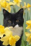 Kitten in Daffodils