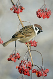 Tree Sparrow Perched on Guelder Rose Bush