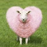 Sheep Ewe Pink Heart Shaped Wool Papier Photo