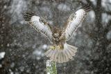 Buzzard Landing in Snow Shower