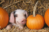 Pig Gloucester Old Spot Piglet with Pumpkins