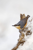 Nuthatch Portrait on a Snow Covered Old Stump December