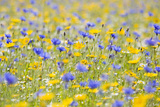 Wildflower Meadow Cultivated with Cornflower