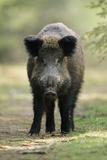 Wild Pig Sow Alert on Forest Track
