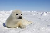 Bébé phoque du Groenland Papier Photo