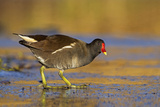 Moorhen Walking on Thin Ice in Early Morning