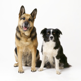 German Shepherd  Alsatian Dog with Border Collie