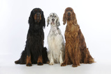 English Setter Sitting Between Gordon Setter