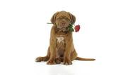 Dogue De Bordeaux Puppy Sitting Down Holding a Rose