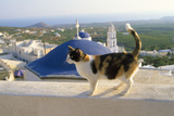 Cat,Tortoiseshell and White, Town in Background Papier Photo