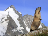 Alpine Marmot on Hind Legs