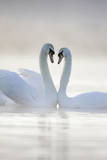 Mute Swans Pair in Courtship Behaviour Back-Lit