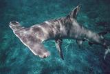 Grand requin-marteau Papier Photo