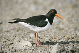 Oystercatcher Side View  on Rocky Shore