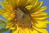 Sunflower a Honeybee (Apis Mellifera) Gathers