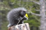 North American Porcupine Baby Holding Yellow Flower Papier Photo