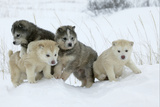 Siberian Husky Litter of Four Puppies in Snow