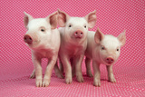Piglets Standing in a Row on Pink Spotty Blanket Papier Photo