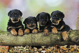 Rottweiler Puppies in a Row Looking over Log