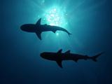 Grey Reef Sharks Grey Reef Sharks Papier Photo
