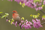House Finch Male in Redbud Tree  Spring
