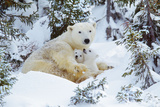 Polar Bear Huddled in Snow  with Two Cubs