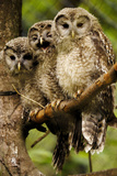 Ural Owls Three Young on Branch