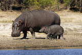 Hippo Mother with Young One Papier Photo