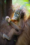 Sumatran Orangutan 9 Month Old Infant