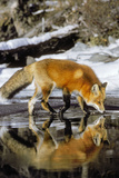 Red Fox Along Edge of Freezing Lake  November