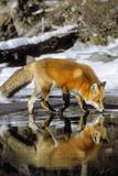 Red Fox Along Edge of Freezing Lake, November Papier Photo