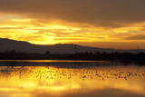 Shorebirds on Salt Pond at Sunrise