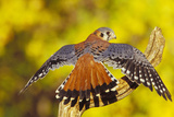 American Kestrel Displaying  Wings Oustretched