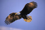 Bald Eagle in Flight  Early Morning Light