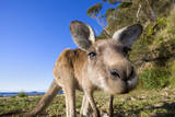 Eastern Grey Kangaroo Super Wide Angle Shot Of