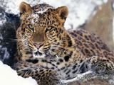 Amur Leopard Endangered Species Papier Photo