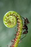 Black Garden Ant on Sundew Curl