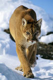 Puma in Winter