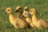 Domestic Ducklings X Five in Grass