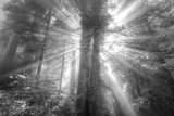 God Beams and The Redwoods (Black and White)