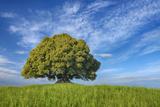 Holm Oak (Quercus Ilex) Alone in Meadow