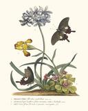Polianthius  Oxalis and Iris