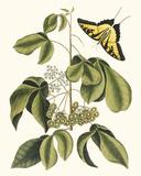 Papilio Antilochus