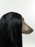 Weimaraner (Canis Lupis Familiaris) with Wig