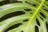 Close-Up of a Philodendron or Monstera Leaf. Papier Photo par Design Pics/Allan Seiden