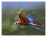 Scarlet Macaw flying  Costa Rica