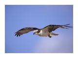 Osprey flying  North America