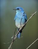 Mountain Bluebird perching on twig  North America