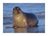Northern Elephant Seal female laying on beach, California coast Reproduction d'art par Tim Fitzharris